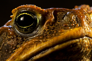 Close-up of the eye of a Cane Toad (Rhinella / Bufo marinus), Invasive species, Willaumez Peninsula, New Britain, Papua New Guinea, December