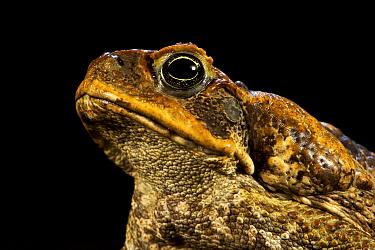 Portrait of a Cane Toad (Rhinella / Bufo marinus), showing the massive parotoid gland, Invasive species, Willaumez Peninsula, New Britain, Papua New Guinea, December