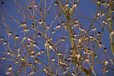 Winter roost of Pied wagtails (Motacilla alba) dusk, shopping centre, Bath, UK. January.