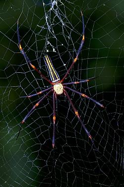 Golden orb weaving spider (Nephila pilipes) in web, Willaumez Peninsula, New Britain, Papua New Guinea, January