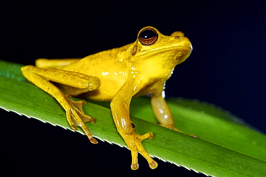 Treasury island treefrog (Litoria thesaurensis), Willaumez Peninsula, New Britain, Papua New Guinea, January