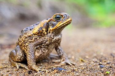 Cane toad (Rhinella / Bufo marinus), Invasive species, Willaumez Peninsula, New Britain, Papua New Guinea, December