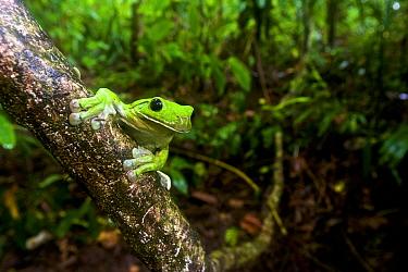 White-lipped Tree Frog (Nyctimystes infrafrenatus / Litoria infrafrenata) in rainforest, Willaumez Peninsula, New Britain, Papua New Guinea, December