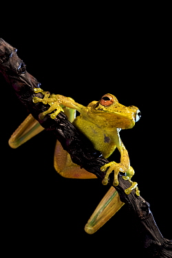 Treasury island treefrog (Litoria thesaurensis), Willaumez Peninsula, New Britain, Papua New Guinea, December