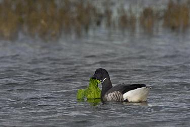 Brent goose (Branta bernicla) foraging in water, Vendee, France, December