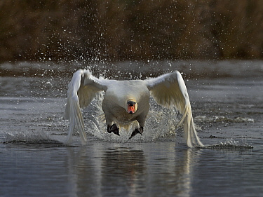 Mute Swan (Cygnus olor) taking off from water Le Teich, Gironde, February