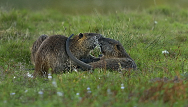 Coypu (Myocastor coypus) fighting in grass Le Teich, Gironde, France, October. Introduced species.