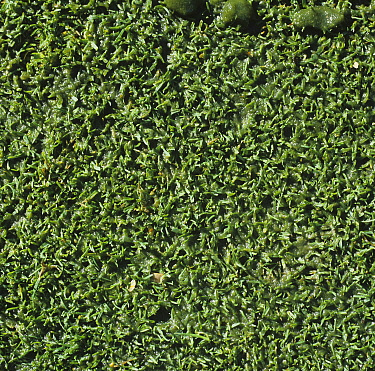 Algal slime (Cyanobacterium / other algae) formed on the surface of close mown turf of a damp golf course green after rain, Surrey, October