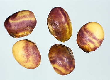 Purple seed stain (Cercospora kikuchii) characteristic staining symptom caused by the disease to soybean seeds