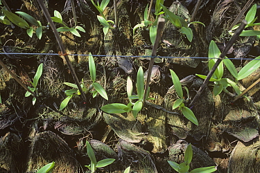 Epiphytic Dendrobium orchids reared in coconut shells in a nursery to be sold to hang on trees and in houses, Thailand