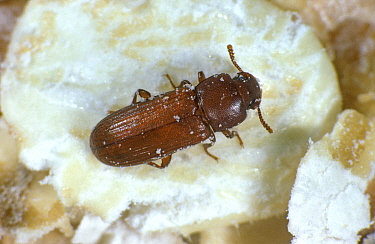Red flour beetle (Tribolium castaneum) adult storage pest on grain detritus