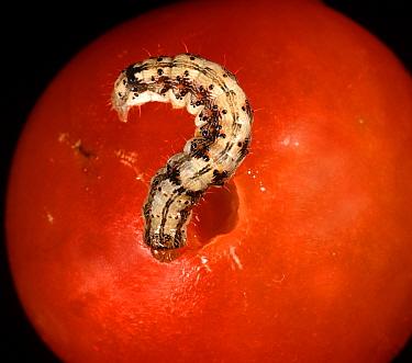 Tomato fruitworm, corn earworm / old world bollworm (Helicoverpa armigera) caterpillar feeding on tomato fruit