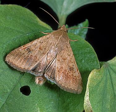 Cotton bollworm, corn earworm / old world bollworm (Helicoverpa armigera) noctuid moth on a cotton leaf