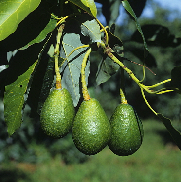 Maturing avocado fruit (Persea americana) hanging from long peduncles on the tree, Transvaal, South Africa, February