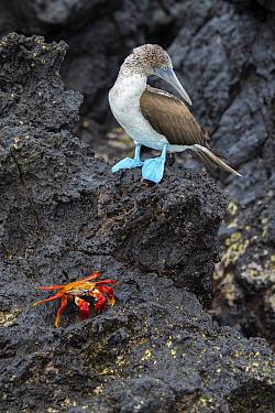 Blue-footed booby (Sula nebouxii), with sally-lightfoot crab (Grapsus grapsus), Santa Cruz Island, Galapagos Islands.