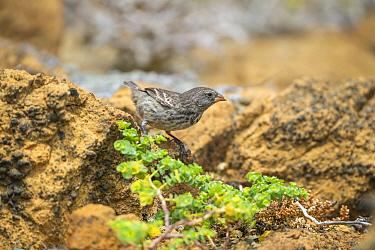 Darwin's small ground finch (Geospiza fuliginosa), feeding on Chamacuche plant, Bainbridge Rocks, Galapagos Islands.