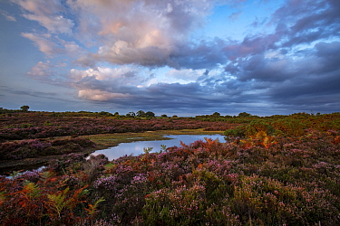 New Forest landscape with Bell heather (Erica cinerea) New Forest National Park, Hampshire, England, UK. August 2018.
