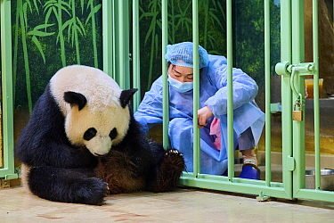 Keeper Mao Min trying to remove newborn baby Giant panda (Ailuropoda melanoleuca) from female Huan Huan for care. Beauval ZooParc, France 2 August 2021. Editorial use only.