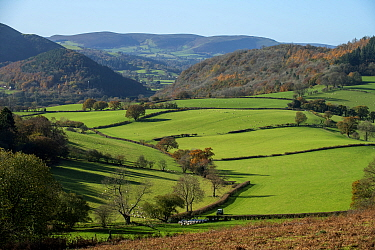 Llanfihangel / Colva Hill background and Worsell Wood and Stanner Rocks National Nature Reserve midframe and the Back Brook glacial and meltwater valley, with shepherd moving sheep, Herefordshire/Radn...