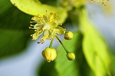 Large-leaved lime (Tilai platyphyllos) flower, parkland tree, Herefordshire Plateau, England, UK. June.