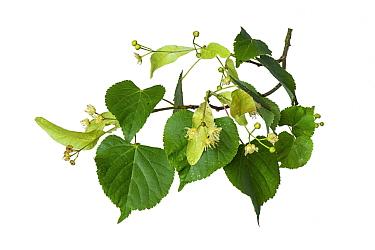 Small-leaved lime (Tilia cordata) flowers, Shrawley Wood, SSSI, Worcestershire, England, UK.