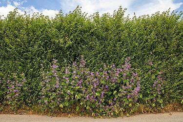 Common mallow (Malva sylvestris) and English elm (Ulmus procera) hedge, roadside, Herefordshire, England, June.