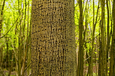 Small-leaved lime (Tilia cordata) tree with holes made by Great spotted woodpeckers (Dendrocopus major), Shrawley Wood SSSI, Worcestershire, England, UK.