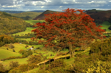 Ancient hawthorn (Crataegus monogyna) with berries and stripped of leaves, Hergest Ridge looking across to Herrock Hill, Herefordshire / Radnorshire border, UK. October,