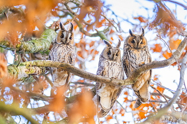 Long-eared owl (Asio otus) autumn, three owls roosting in tree, The Netherlands