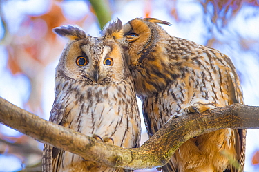 Long-eared owls (Asio otus) autumn, two owls interacting while roosting in tree, social behaviour, The Netherlands
