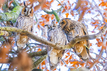 Long-eared owls (Asio otus) autumn, three owls roosting in tree, social behaviour, The Netherlands