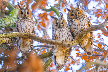 Long-eared owls (Asio otus) autumn, three owls roosting in tree, The Netherlands
