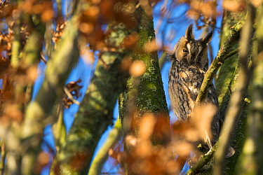 Long-eared owl (Asio otus) roosting in tree in autumn, The Netherlands