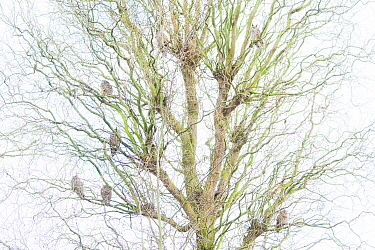 Large number of Long-eared owls (Asio otus) roosting in tree in winter, The Netherlands