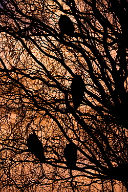 Long-eared owls (Asio otus) roosting in tree in winter, The Netherlands