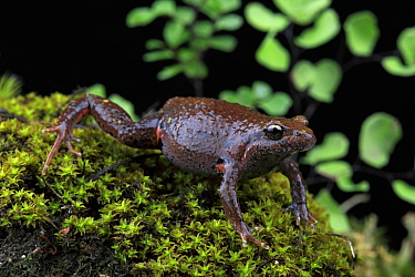 Eastern smooth frog (Geocrinia victoriana) from Flowerdale, Great Dividing Range above Melbourne, Victoria, Australia.