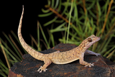 Robust dtella gecko (Gehyra robusta) nocturnally active in the Selwyn Ranges, Mount Isa. North West Queensland, Australia. Controlled conditions.