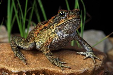Cane toad (Bufo marinus) invasive species introduced to Australia. Mount Isa, Queensland, Australia, Controlled conditions.