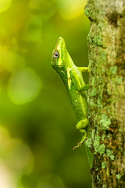 Knight anole (Anolis equestris) climbing up a palm tree, Florida, USA. This is an introduced species from Cuba.