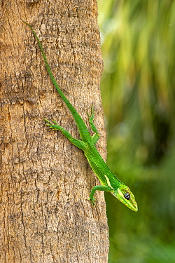 Knight anole (Anolis equestris) climbing down a palm tree, Florida, USA. This is an introduced species from Cuba.