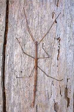 A Margin-winged stick insect (Ctenomorpha marginipennis) clinging to the bark of a tree, its body resembles a eucalyptus twig from the same trees it feeds on, Point Beauty, Tasmania, Australia. March.