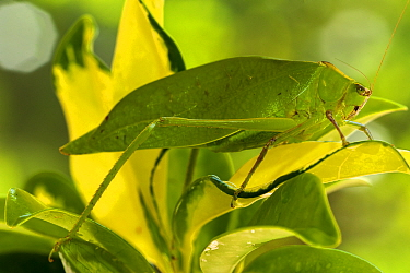 Spiny-legged katydid (Paracaedicia serrata) camouflaged in the leaves of a tropical plant, Cairns Botanical Garden, Queensland, Australia. April.