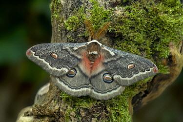 Saturniid moth (Neoris huttoni shadulla) Chu Ili Mountains, Southeast Kazakhstan Controlled conditions.