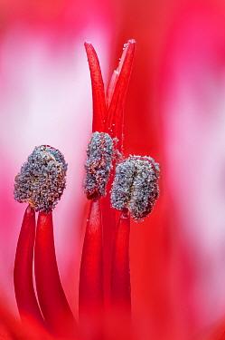 Alstroemeria Lily, close up of stamens. Studio image.