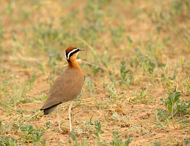 Indian Courser (Cursorius coromandelicus) on ground, Jaisalmer district, Rajasthan, India.