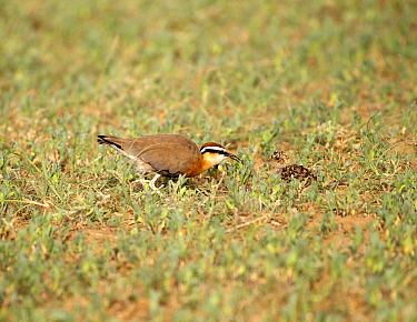 Indian courser (Cursorius coromandelicus) adult with chick, Jaisalmer district, Rajasthan, India.