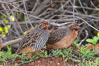 Jungle bush-quail pair (Perdicula asiatica), scrub countryside, Karnataka, India.