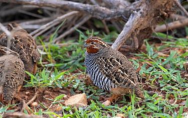 Jungle bush-quail (Perdicula asiatica), male with females, scrub countryside, Karnataka, India.