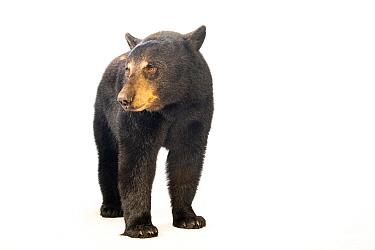 Florida black bear (Ursus americanus floridanus) named Cheyenne at the Brevard Zoo.