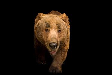 Himalayan brown bear (Ursus arctos isabellinus) at Himalayan Nature Park in Kufri.
